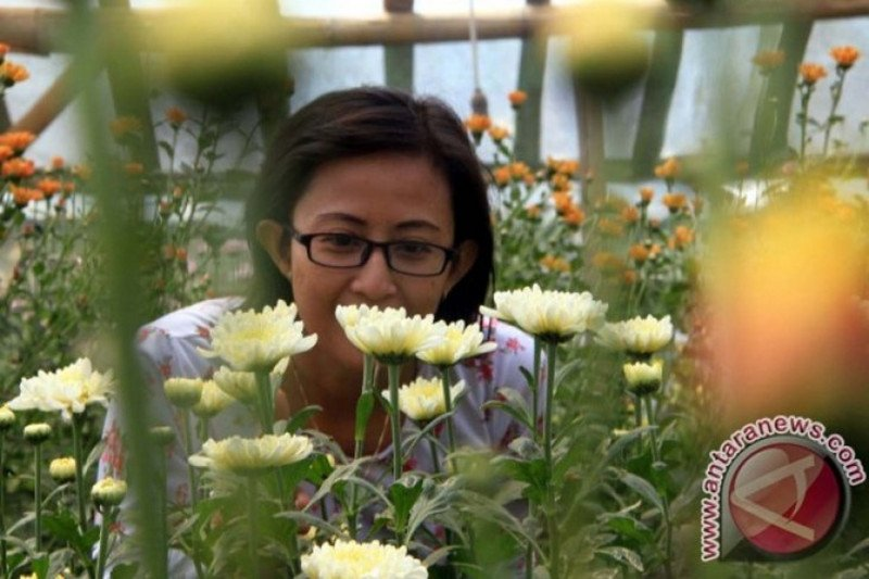 Kementan latih petani budidaya Krisan berbasis 'Good Agriculture Practices'
