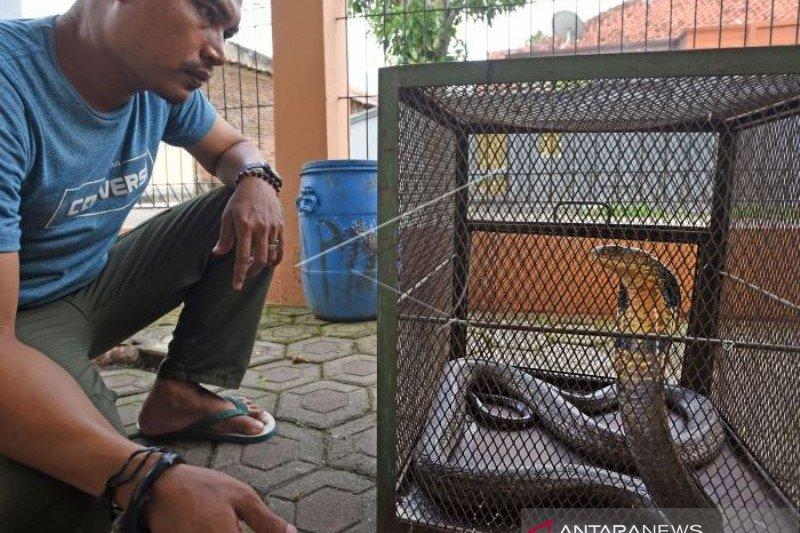 BKSDA Banten Amankan Ular King Kobra