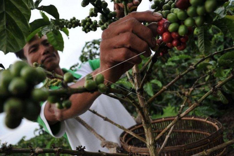 Petani keluhkan harga  jual kopi di Ogan Komering Ulu Selatan rendah