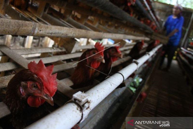 Dampak Kenaikan Harga Pakan Ayam