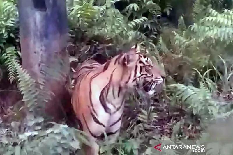 Seekor harimau masuk permukiman warga