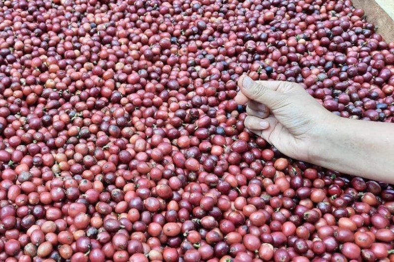 Petani Kopi Pagaralam sasar  pasar produk premium