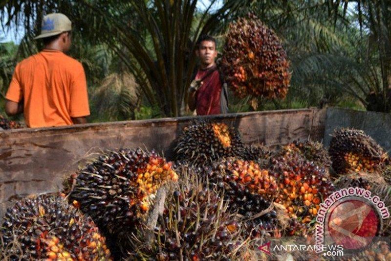 Harga kelapa sawit di Pesisir Selatan membaik sejak April