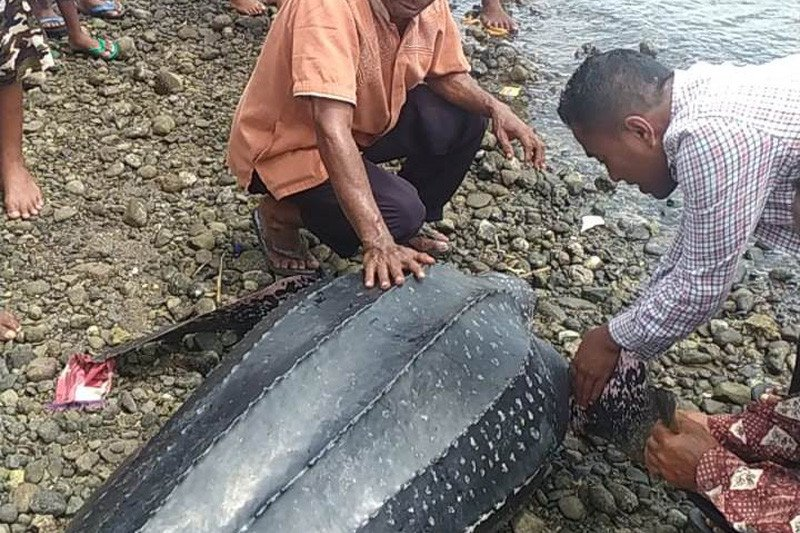 Nelayan Alor selamatkan penyu langka