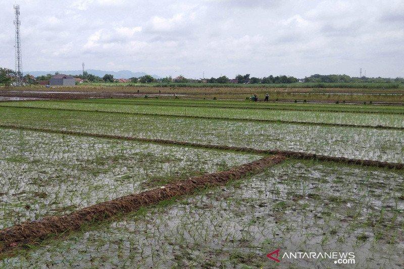 Asuransi tanaman padi tak dilirik petani di Kudus