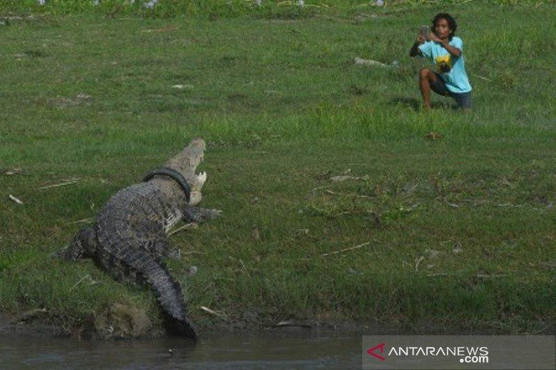 Warga memotret buaya terjerat ban di Palu