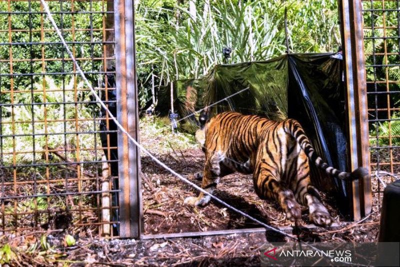 Pelepasliaran Harimau Sumatera Corina