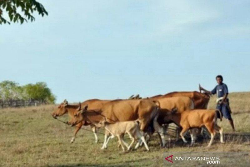 Warga India diperingatkan tentang kotoran sapi bukan obat COVID-19