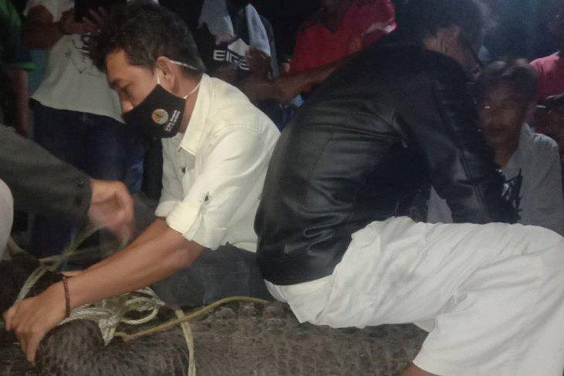 BKSDA evakuasi buaya tangkapan nelayan