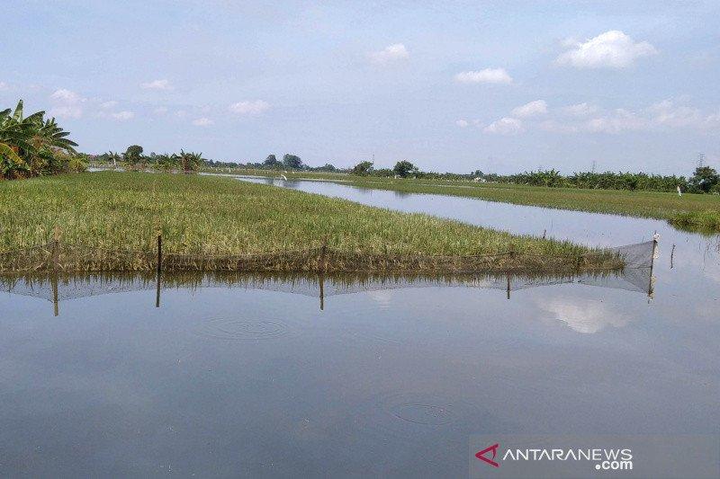 2.057,49 hektare  tanaman padi di Kudus dijamin asuransi