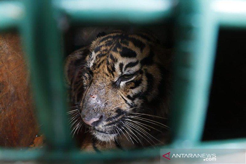 BKSDA: Harimau sumatra berkeliaran di perkebunan Aceh Timur