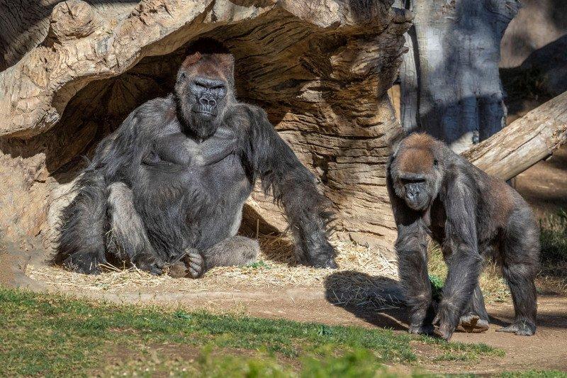 Dua gorila di Kebun Binatang San Diego terjangkit COVID-19