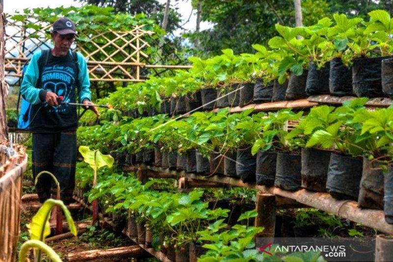 Pengembangan Kebun Strawberry Di Area Wisata