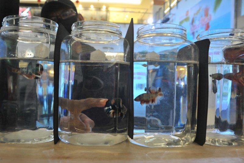 Tren Ikan cupang