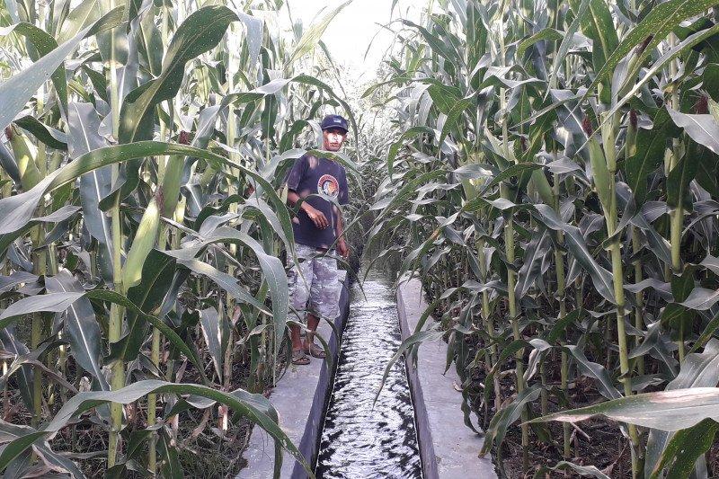 Turun, produksi jagung di Pasaman Barat