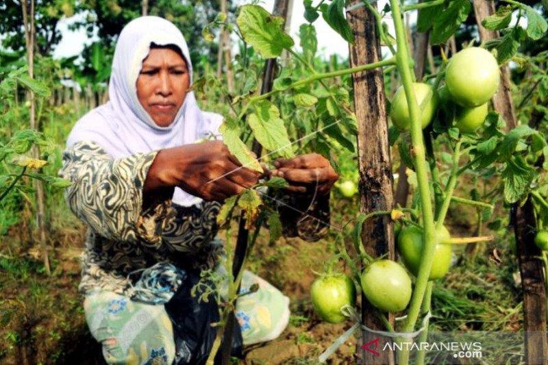 Produksi Tomat Di Pamekasan Anjlok