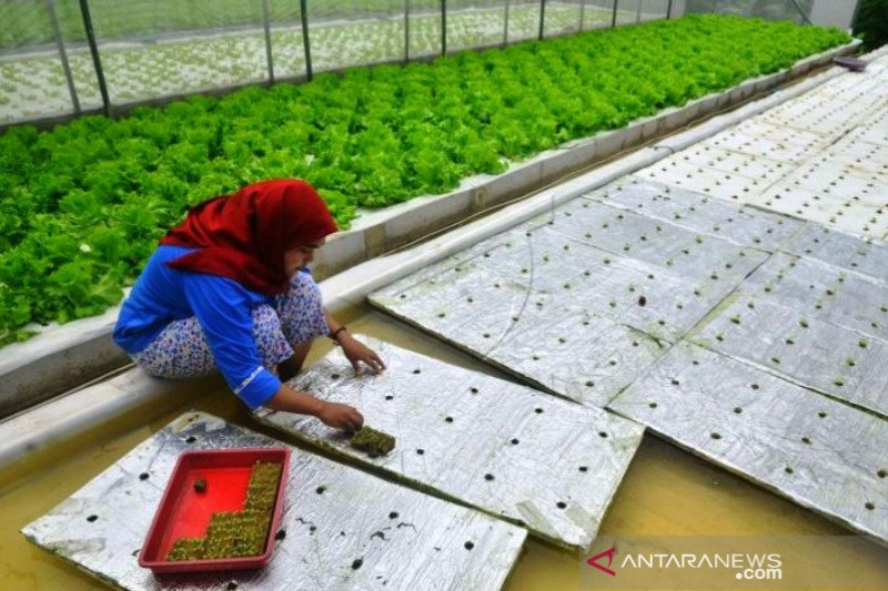 Budi Daya Sayuran Selada Hidroponik