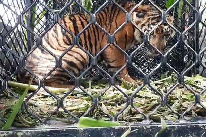 BKSDA evakuasi anak harimau terjerat