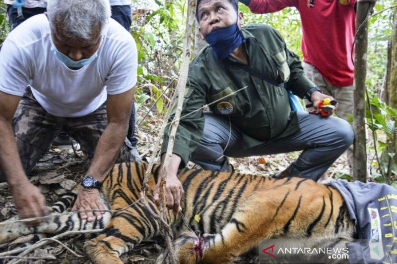 Anak Harimau Sumatera Terkena Jerat di Aceh