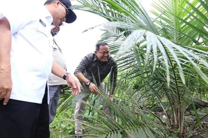 Petani Muba panen sawit 1.000 ton TBS  berkat bibit berkualitas