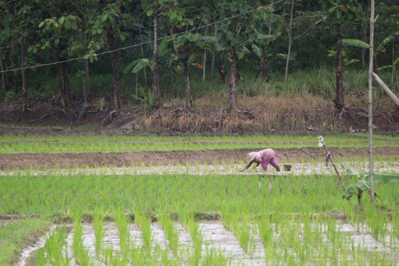 Asuransi Usaha Tani Padi solusi petani hadapi gagal panen