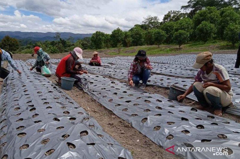 Dinas Pertanian Poso hentikan penanaman bawang putih