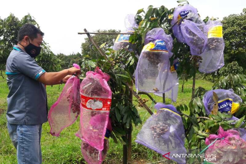 Bejen Fruit Garden tawarkan wisata agro Temanggung