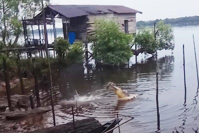 Warga Sampit kaget dapati buaya memakan bangkai dekat permukiman