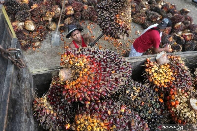 Berita baik..... Sejak pertengahan 2020, harga TBS Kelapa Sawit di Pesisir Selatan terus membaik