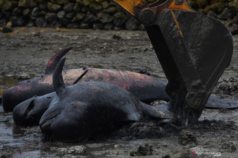 52 paus terdampar di pantai Bangkalan karena penyakit