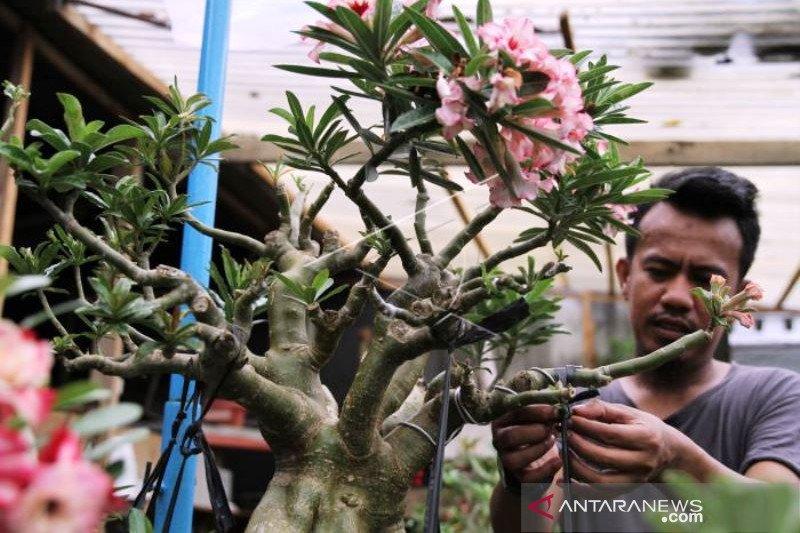 Penjuakan Bonsai Adenium