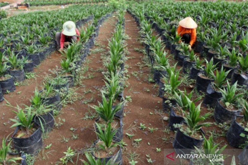 Sumbar Targetkan Peremajaan Sawit 8000 Hektare