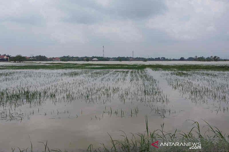 Tanaman padi seluas 3.074 hektare di Cirebon gagal tanam