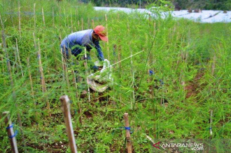 Budidaya Tanaman Asparagus Petani Temanggung