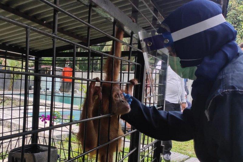 Orangutan, burung elang dan burung beo yang disita di Binjai dibawa ke pusat rehabilitasi satwa di Medan