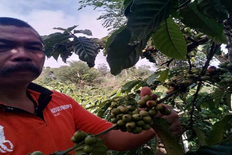 Berita pekan ini - Harga kopi Lampung Barat berkisar Rp17.000/kg