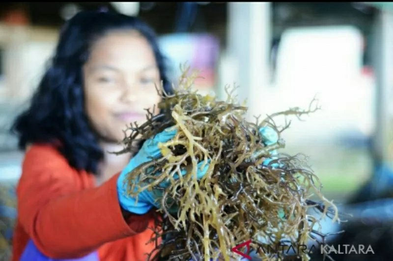 Pembudidaya rumput laut Nunukan semangat tingkatkan produksi