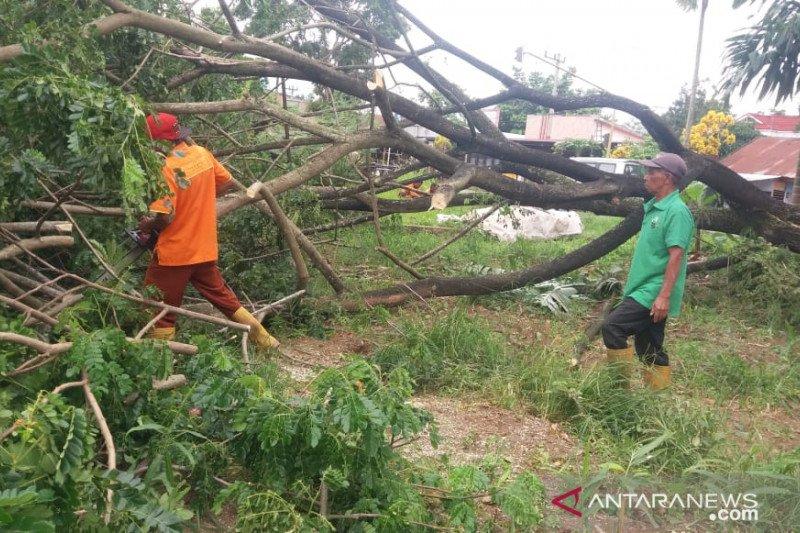 Ini yang menyebabkan tumbangnya 17 pohon di Kota Payakumbuh
