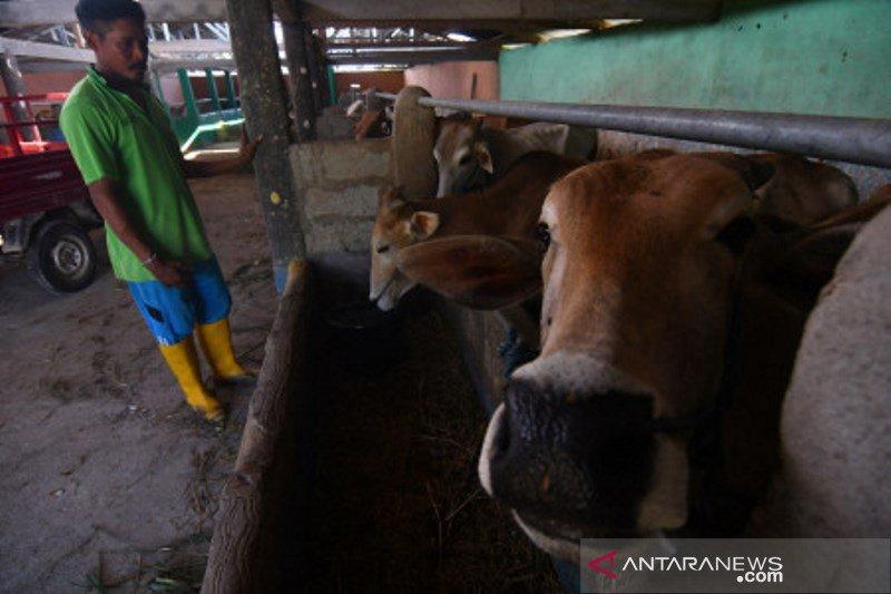 Upaya peningkatan produksi daging sapi di Sigi