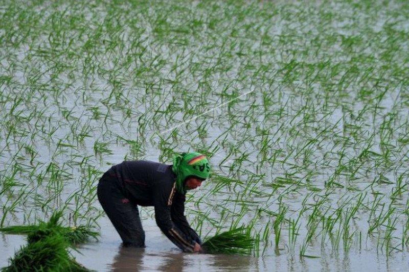 Harga sedang anjlok, Pemprov Sumsel sarankan petani tunda jual gabah