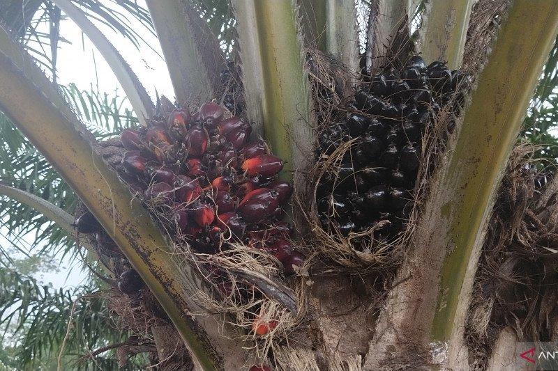 Harga buah sawit di Mesuji anjlok