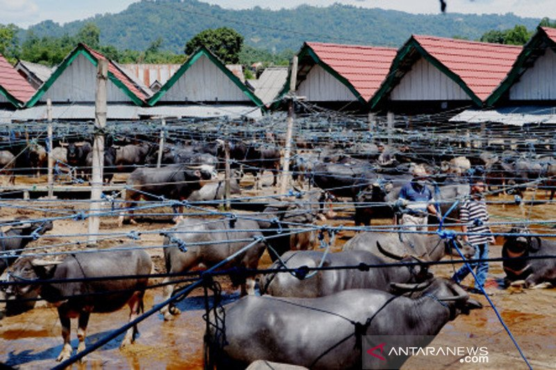 Pasar kerbau Toraja