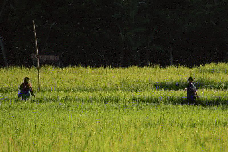 Lampung maksimalkan serapan gabah petani di musim panen raya