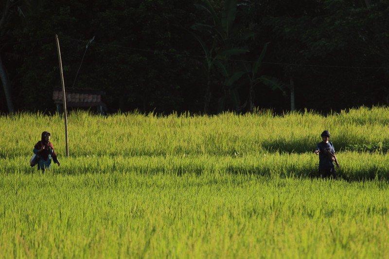 Lampung maksimalkan penyerapan gabah petani saat panen raya