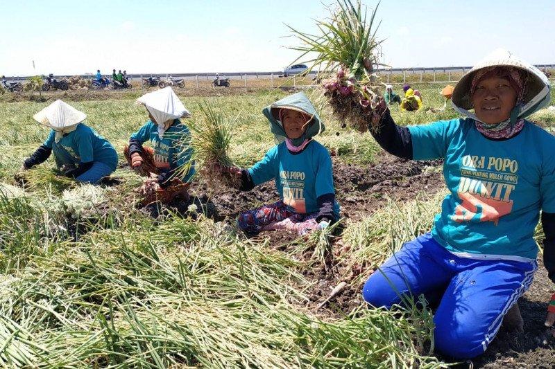 Dinas Pertanian salurkan bantuan 1,5 ton bibit bawang merah