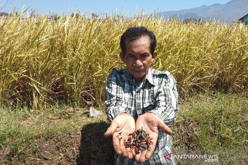 Petugas pertanian terus bergerak antisipasi serangan hama di Garut