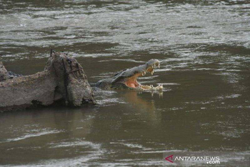 Lima tahun buaya terjerat ban di sungai Palu