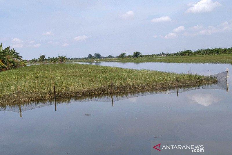 Terdampak banjir, klaim asuransi tanaman padi di Kudus baru 35,95 hektare