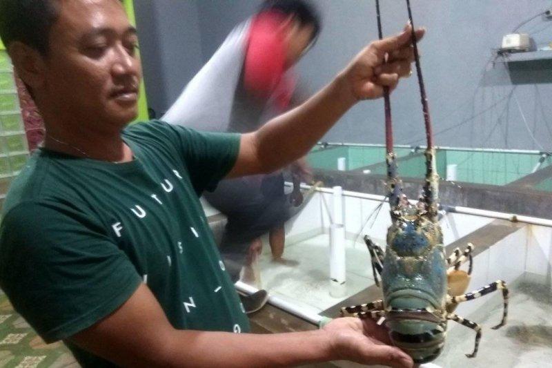 Tangkapan udang lobster di pesisir pantai Lebak naik