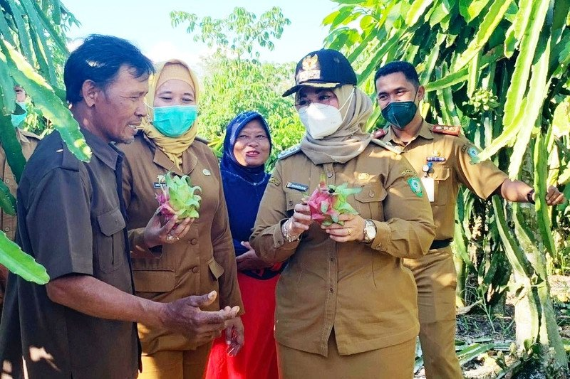Pemkab Kotim dorong petani buah naga tingkatkan produksi